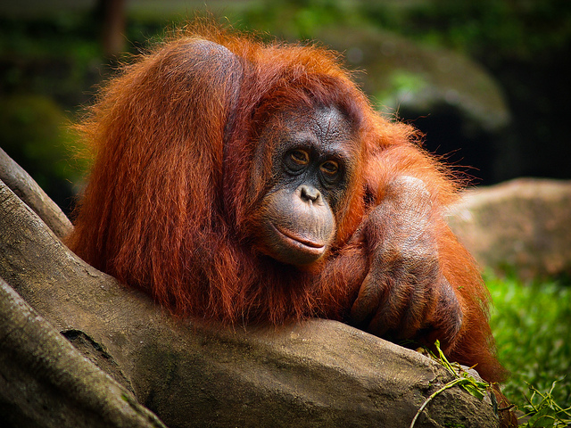 Orangutan, Trivia, Ten Random Facts, Animal, Primate, Orange, Monkey, Animal