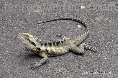 Australian Water Dragon - Ten Random Facts